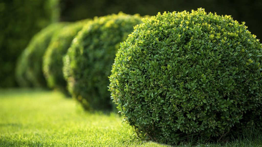 Round cut shrubs