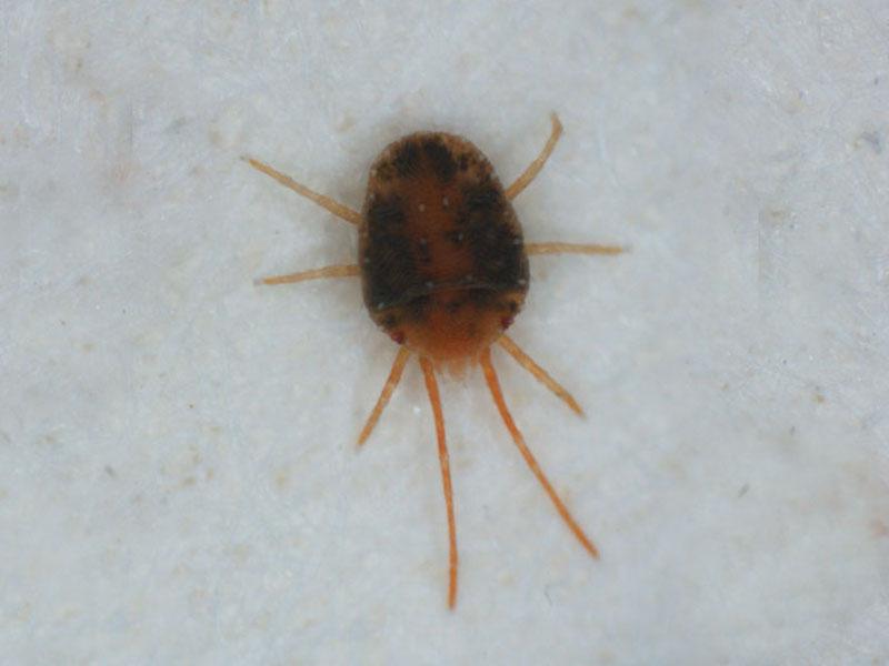 Clover Mite Control