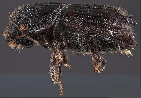 ips beetle