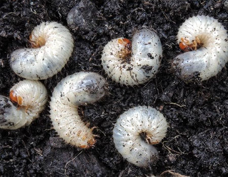 Grubs are a damaging insect pest to lawns